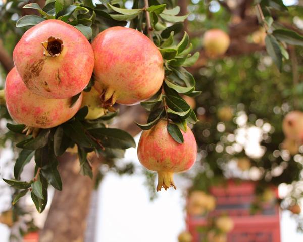 Granatäpple, historisk symbol med goda hälsoeffekter.